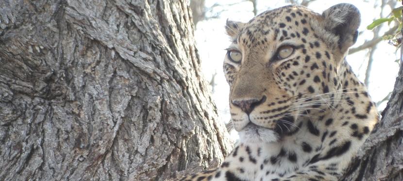 Elijah's Leopard